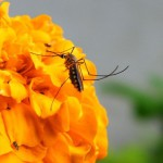 Un cas de virus Zika importé dans le Lot-et-Garonne