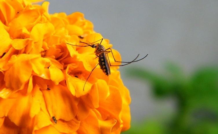 Un moustique femelle