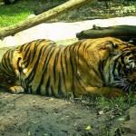 Chine : une femme dévorée par un tigre appartenant à un zoo