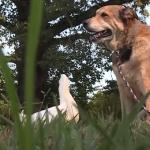 Un canard redonne le goût de vivre à un chien