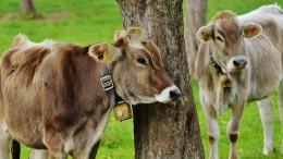 Des vaches