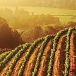 La Californie, une région viticole aujourd'hui reconnue